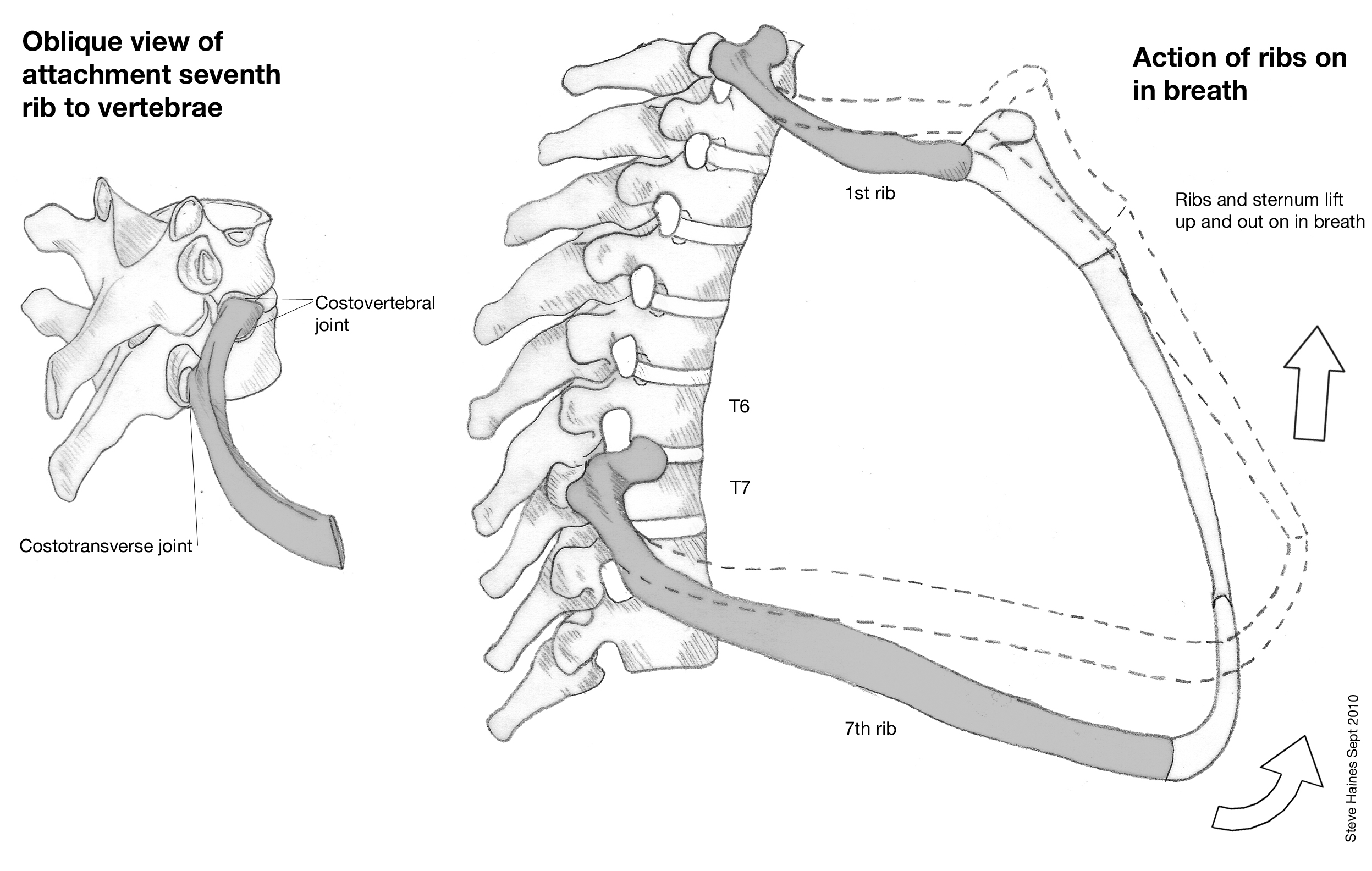 explain how the ribs is attached to the spine