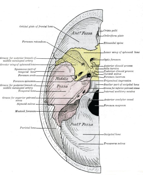 cranial base labelled