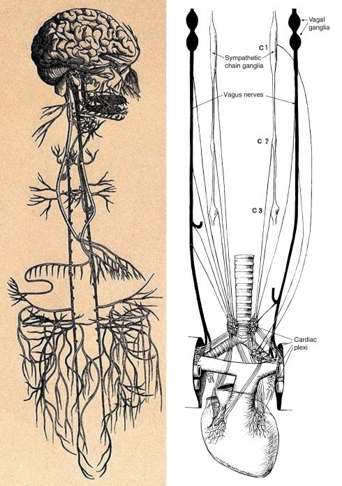 The Vagus. Left: The territory innervated by the paired vagus nerves above and below the diaphragm.     Right: Vagus nerves in black, and sympathetics in white, supply the heart and organs above the diaphragm.